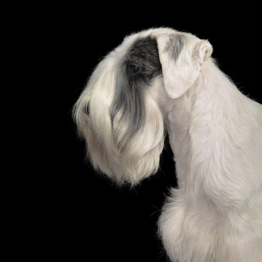 Animal photography series dogs gods Tim Flach Sealyham Terrier