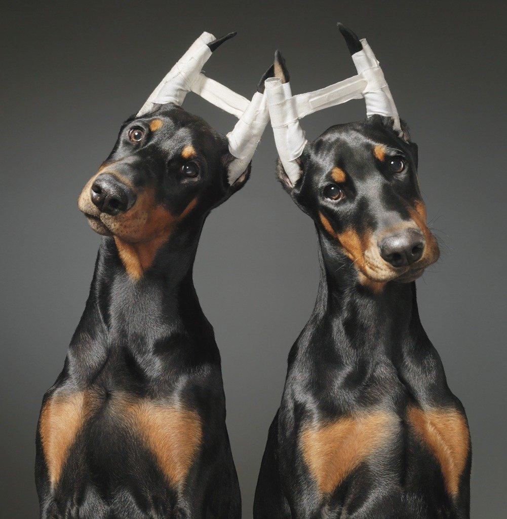 Doberman Couple dogs gods by Tim Flach