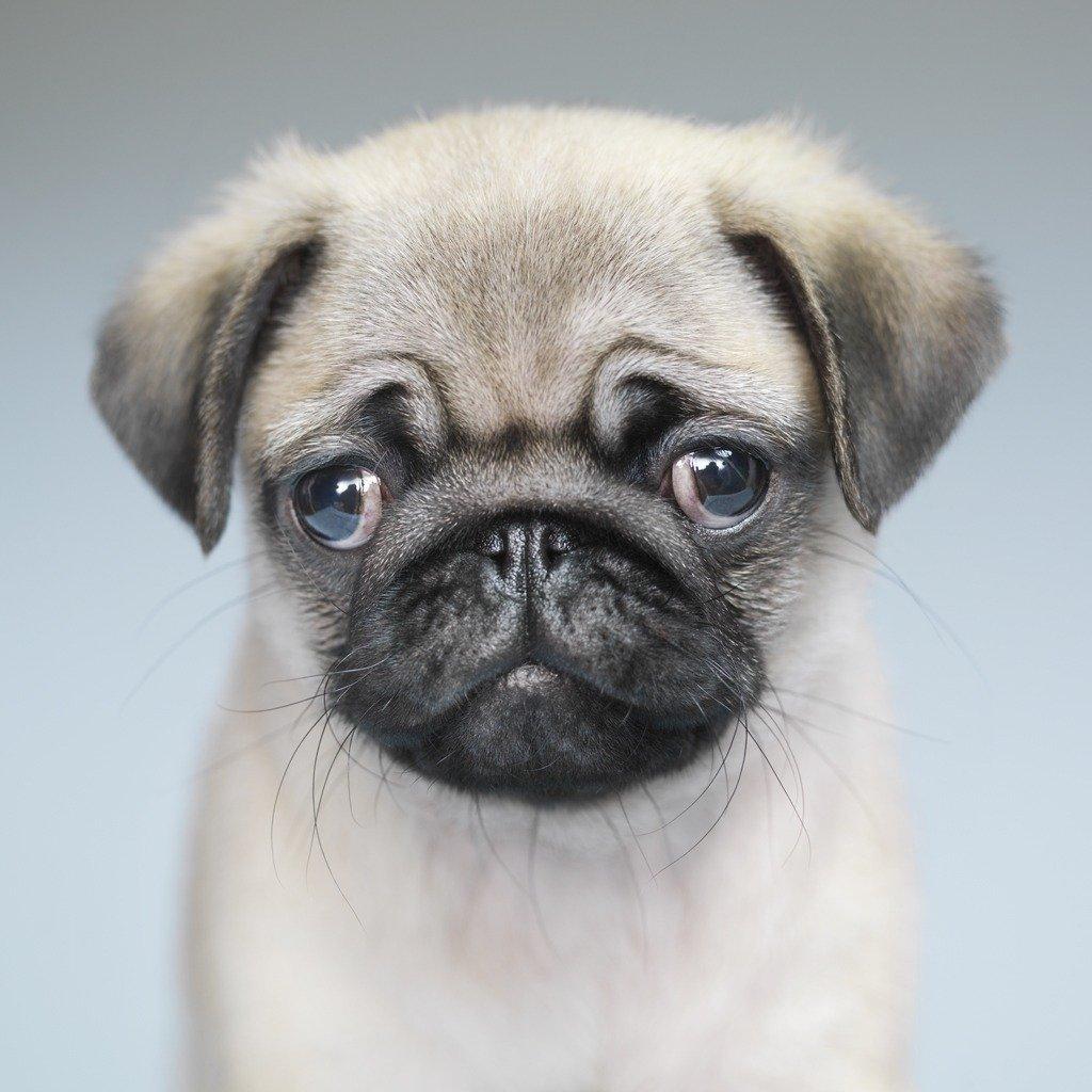Pug Cute Portrait