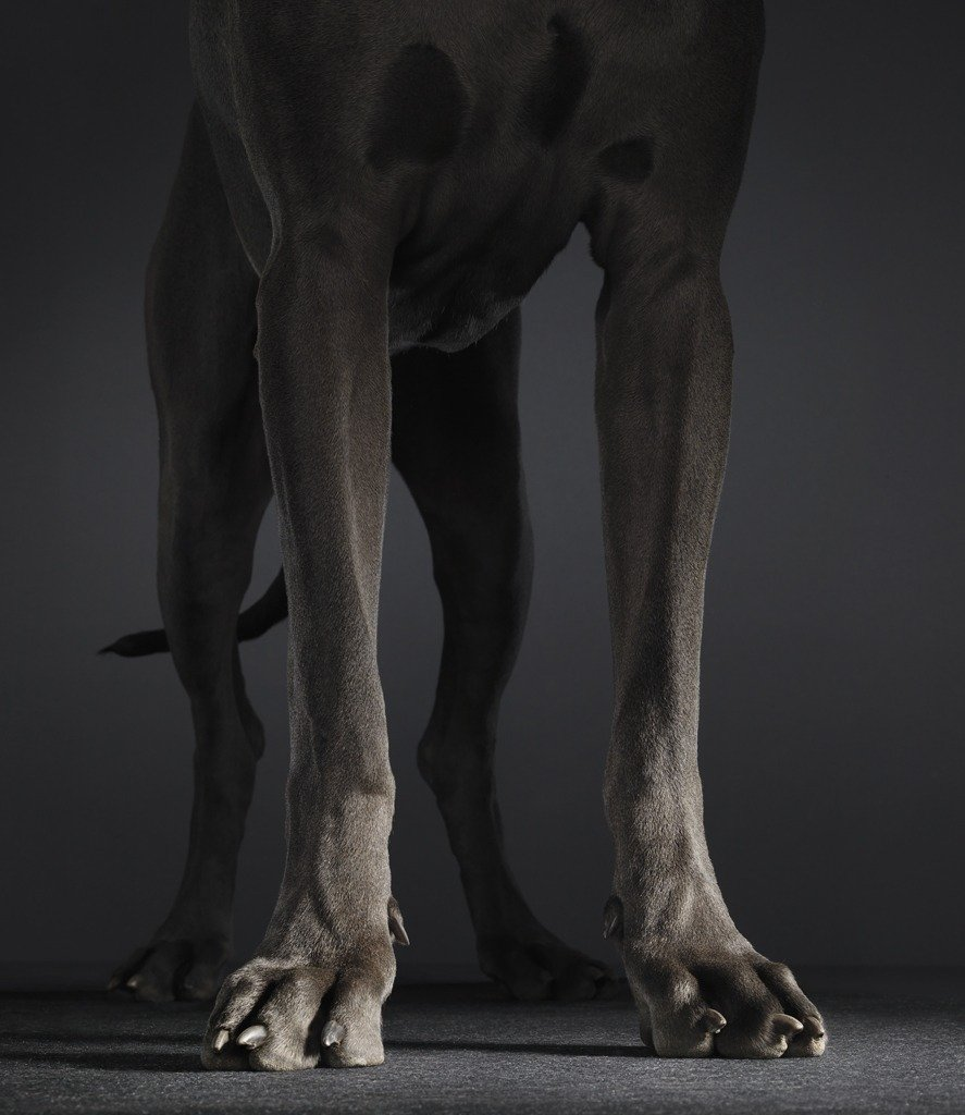 Animal Photography the series Dogs Gods by Tim Flach Great Dane
