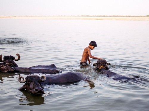 Bathing Buffaloes in Ganges