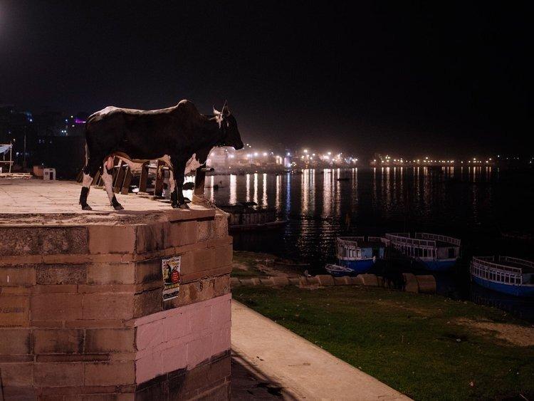 Buffalo by the Ghats in varanasi