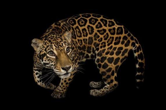 National Geographic Photo Ark Jaguar